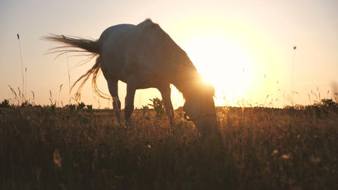 Romantic horse grazing grass in a large field with sun under its head in slo-mo Live Action