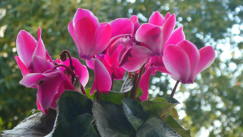 closeup of pink cyclamens Footage