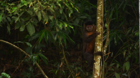 Capuchin monkey climbing down a tree Footage