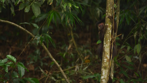 Pan jungle setting wih a Capuchin monkey moving down a tree trunk Live Action