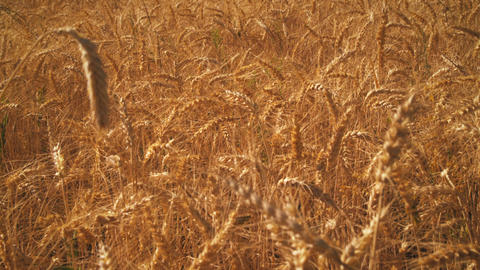 Shot of golden wheat field Footage