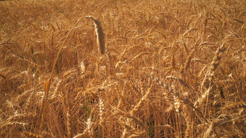 Gradual zoom shot of wheat field Live Action