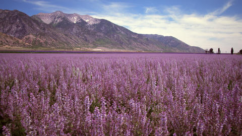 Panning shot of lavender field and mountains Footage