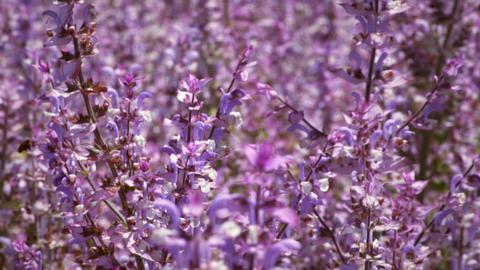 Tilting shot of lavender field Footage