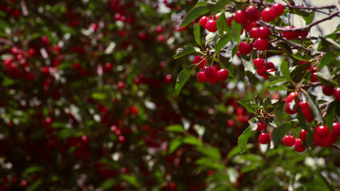 Racking focus of cherries in cherry trees Footage