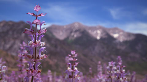 Racking focus of lavender and mountains Footage