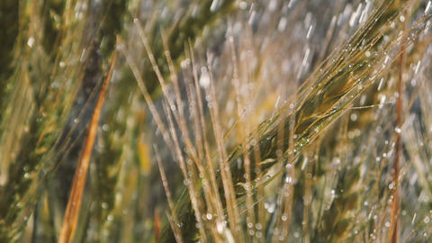 Wheat bunches under optimistic blobs of summer shower in summer in slo-mo Live Action