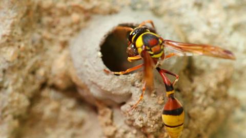 Potter Wasp Building It's Nest Close Up Detail HD Archivo