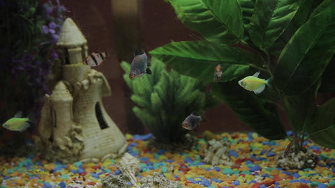 Beautiful fishes of different sizes swim in transparent aquarium water. Colorful Live Action