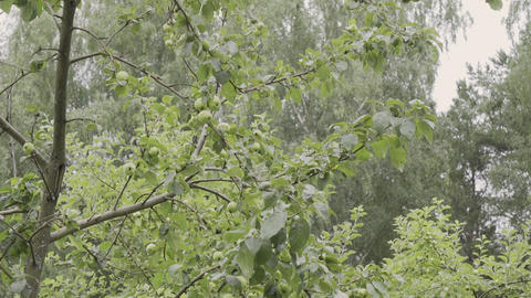 Green apples on a tree branch in the garden. Apple tree after the rain in the Footage