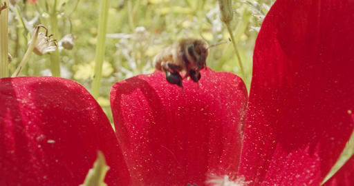 Pollination - Special macro shot of a bee on a flower... Stock Video Footage