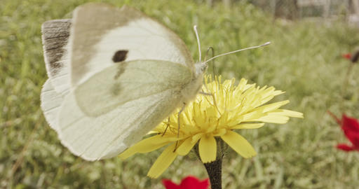 Pollination - Special macro shot of a Butterfly on a flower drinking nectar Footage