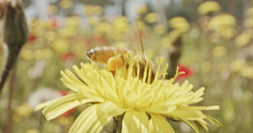 Pollination - Special macro shot of a bee on a flower covered with flower Pollen Footage