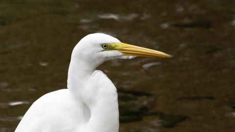 Closeup of white egret looking bird in rio, Brazil Footage