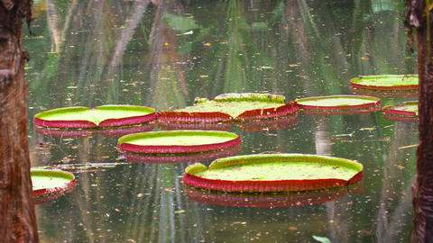 Static shot of lily pads floating in botanical garden in Rio, Brazil Footage