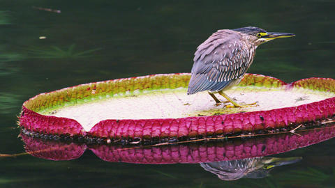Shot of bird floating on green-and-pink lilly pad in Rio Footage