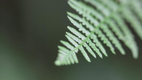 Fern leaf in the wind 0019 Footage