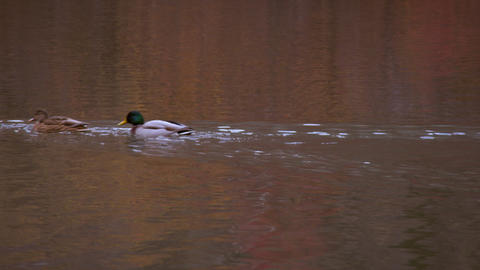 Shot of ducks swimming in a row Footage