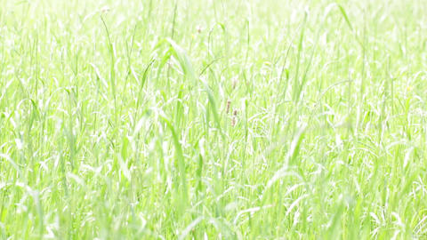 Background of grass in the wind 0001 ビデオ