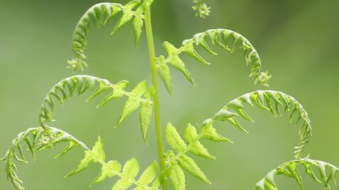 Fern leaf in the wind 0 05 Footage