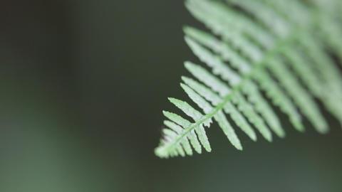 Fern leaf in the wind 0020 Footage