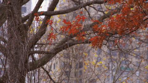 Racking focus shot of tree with orange leaves Footage