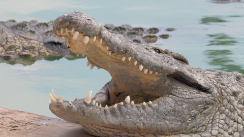 Open jaws of large crocodile in water Live Action