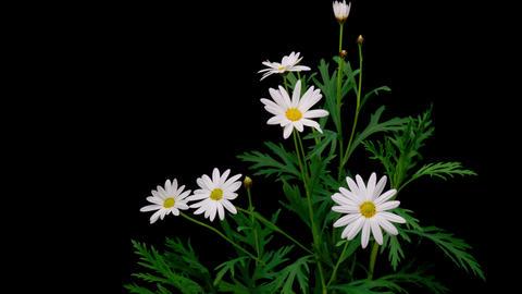 Flowering of Margaret Archivo