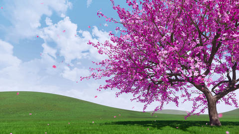 Blooming sakura cherry tree with falling petals Animation