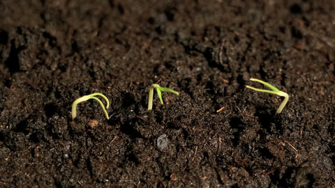 Three small green plants growing sprouting seedling from the ground, germination Footage