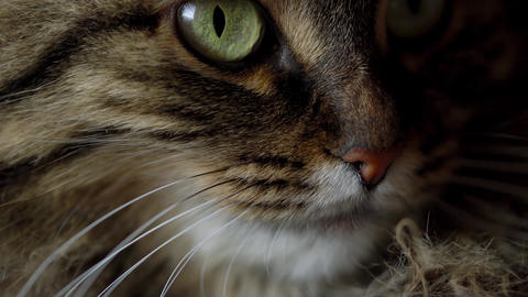 Cute muzzle of a tabby domestic cat close up Footage