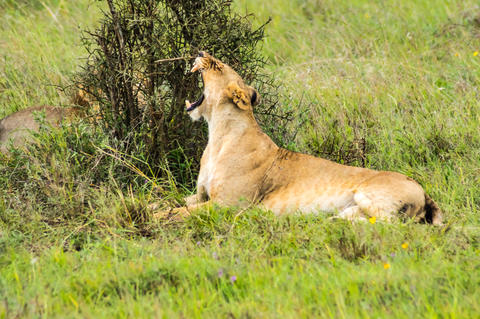 Lioness sitting in the savannah of Nairobi Fotografía