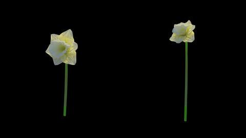 Daffodil Growth Animation