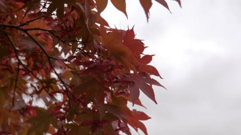 Red leaves on tree in autumn season Footage