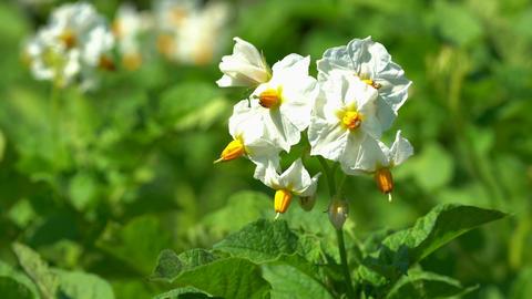 Blossom of potato plant (Solanum tuberosum) Live Action