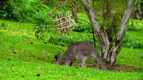 Kangaroo eating grass on a safari park Archivo