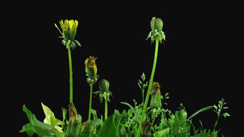 Time-lapse of opening Dandelion flower in RGB + ALPHA matte format Footage