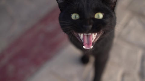 A black cat says meow so his jaw is visible in slow motion Footage