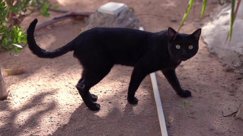 Smooth coated black cat says meow in slow motion Footage