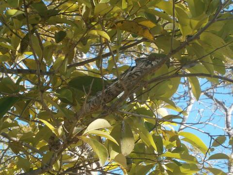 Chameleon Madagascar, Bradypodion thamnobates (female), on a tree branch Fotografía