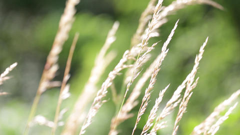 Abstract background of cereal plant 0002 ビデオ