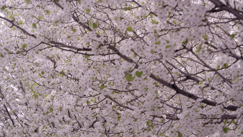Tight moving shot under blossoming trees Footage