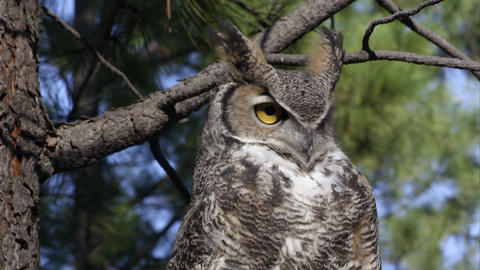 Close shot of great horned owl looking around in a tree Footage