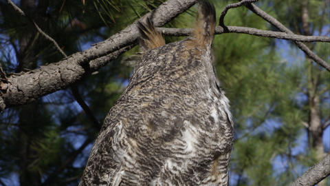 Tight shot of great horned owl hooting in a tree Footage