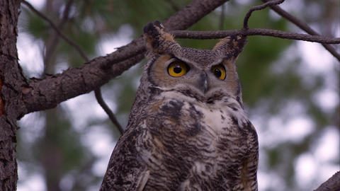 Tight shot of great horned owl looking around in a tree Footage