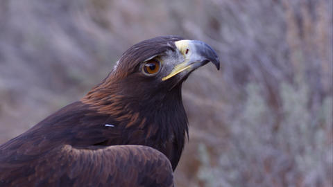 Tight shot of golden eagle's head looking around Footage