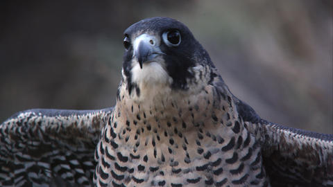 Tight shot of peregrine falcon's head as it looks around Footage