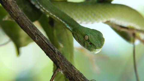 Vogeli green pit viper Footage
