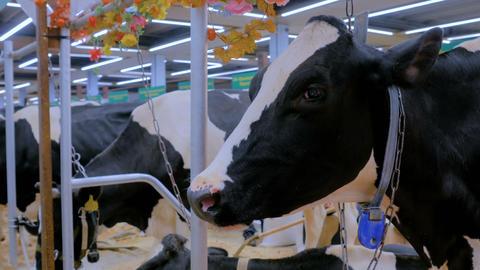 Portrait of sad cow at dairy farm GIF