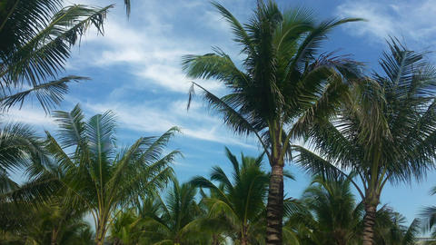 High coconut trees in the sunny tropic isolated on the sky background Live Action